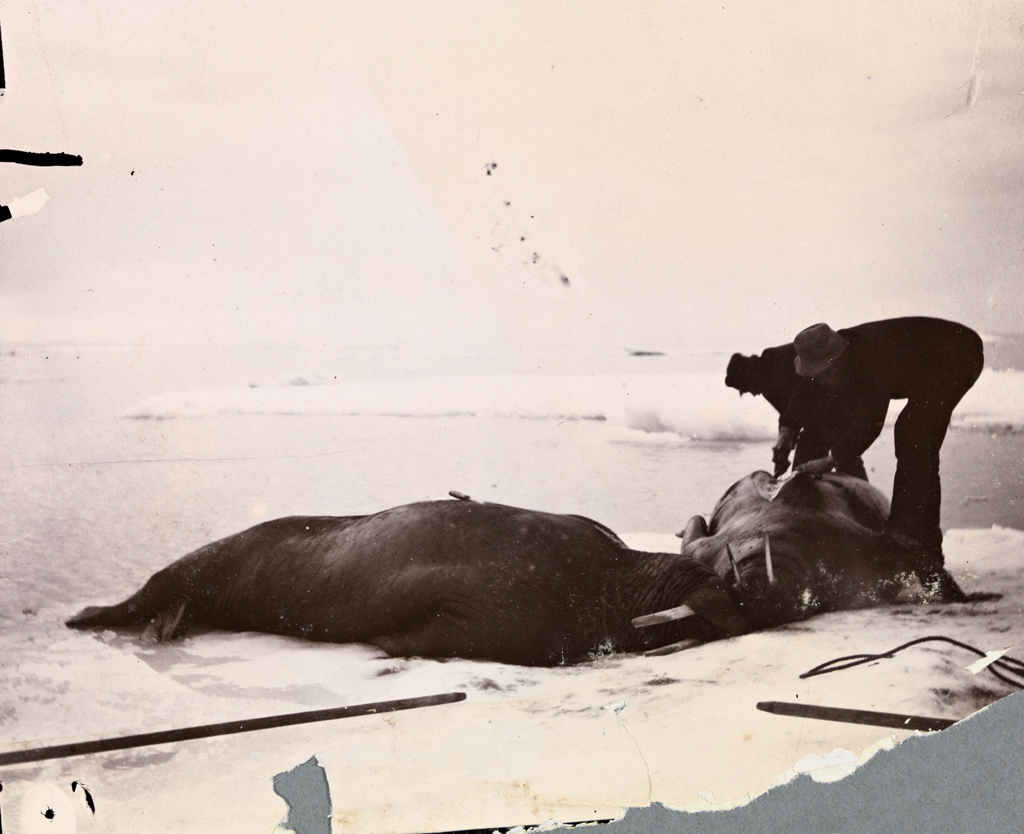 Skinning Walrus. (The Fram, 1893, National Library of Norway ...